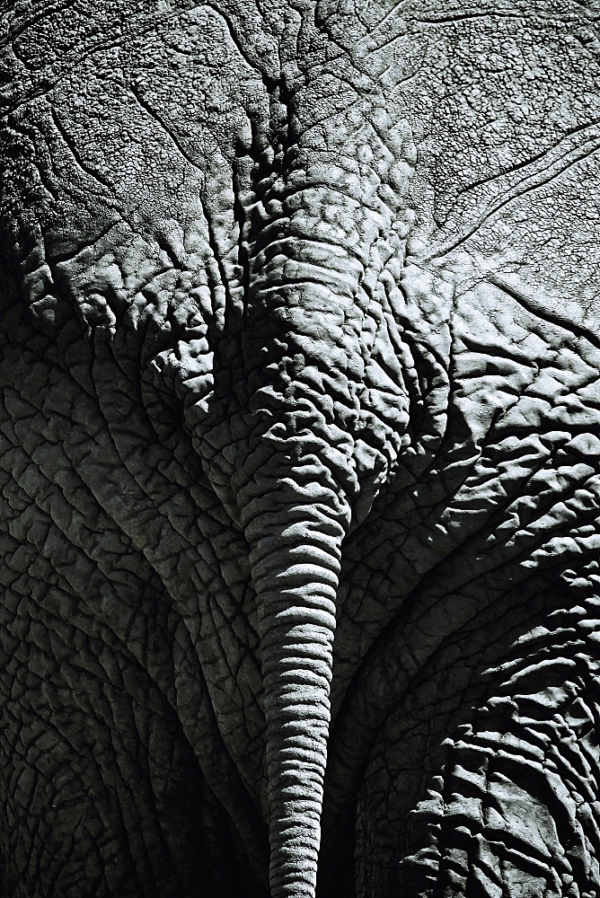Rear view of an elephant, Kenya, Africa