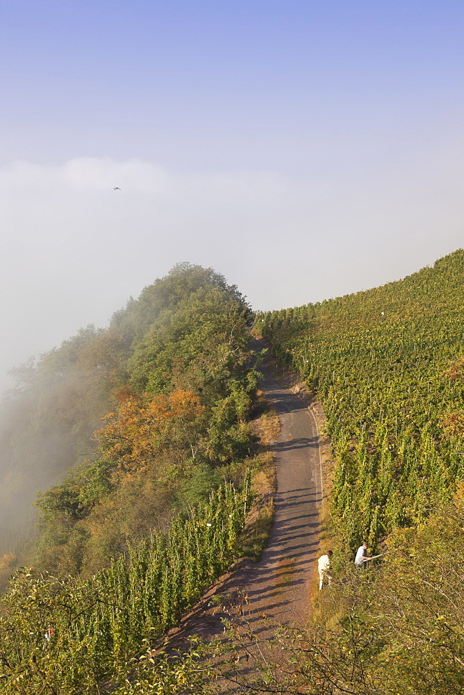 Steep slopes of Uerzig vineyard with track, Ueziger Wuerzgarten, Uerzig, Rheinland-Pfalz, Germany