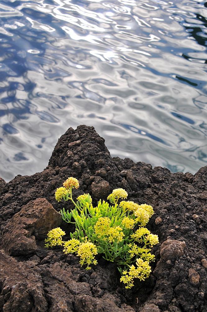 Lava flower in Faja Grande, West coast, Island of Flores, Azores, Portugal
