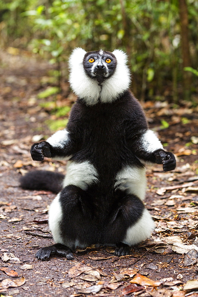 Black and white ruffed Lemur, Varecia variegata, East Madagascar, Madagascar, Africa