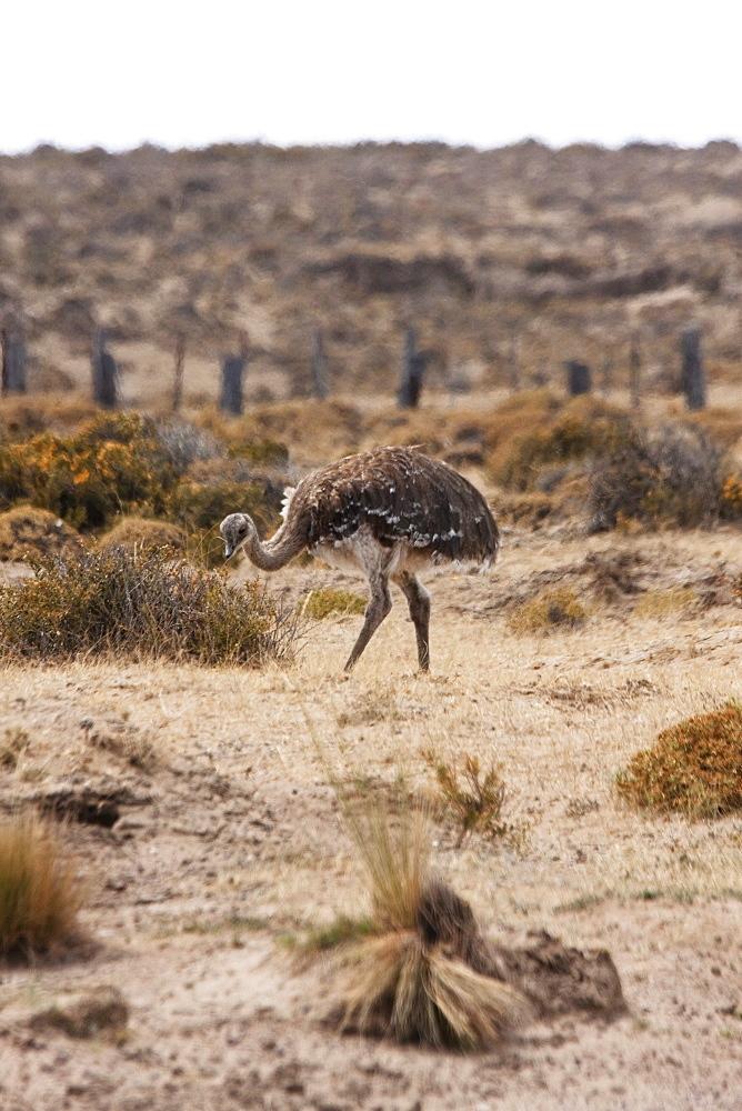 Darwin's Rhea (Rhea pennata) or Lesser Rhea, Peninsula Valdes, Chubut, Argentina