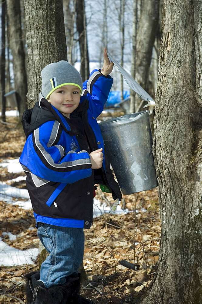 Boy Checking Sap Running from Maple Tree, Northern, Ontario