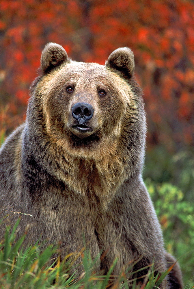 Grizzly Bear (Ursus arctos), Rocky Mountains