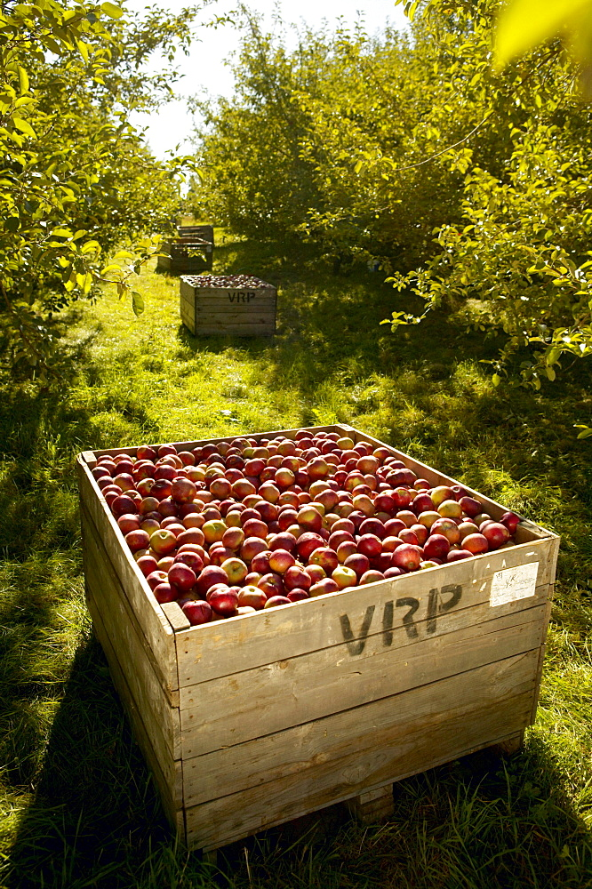 Rougemont Apple Orchard, Monteregie, Quebec