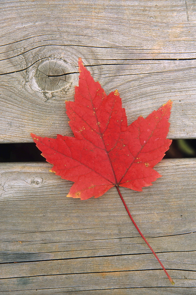 Maple leaf, Mount Carleton Provincial Park New Brunswick.