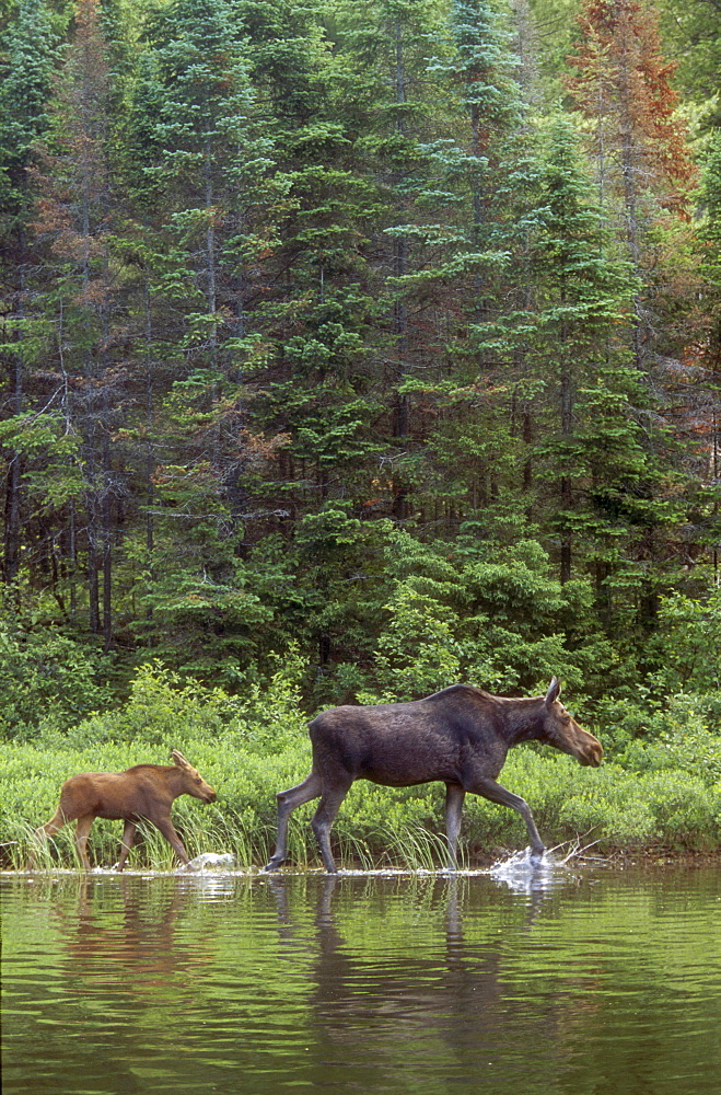 Cow and Calf Moose, Algonquin Park, Ontario