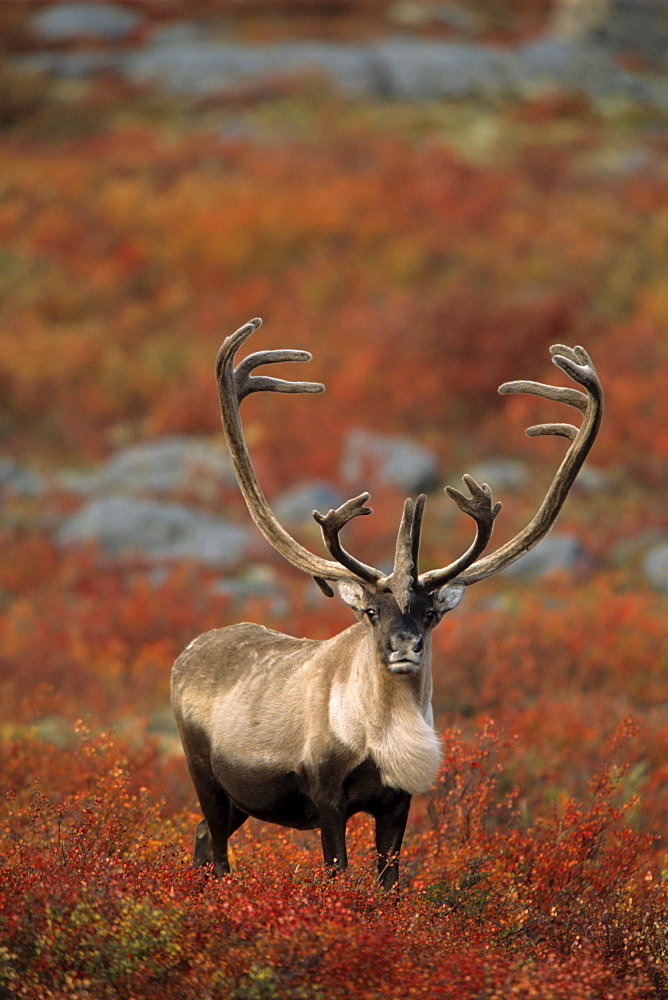 Barren-ground Caribou Bull (Rangifer tarandus groenlandicus) on Autumn Tundra, near Thelon Wildlife Sanctuary, Northwest Territories