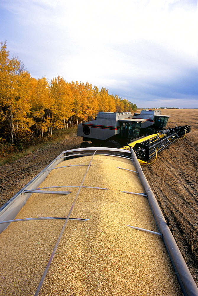 Soybeans in back of Farm Truck, near Lorette, Manitoba