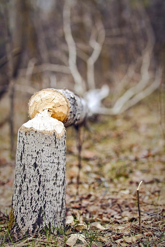 Evidence of a beaver at work on Trembling Aspen tree, Assiniboine Park, Winnipeg, Manitoba