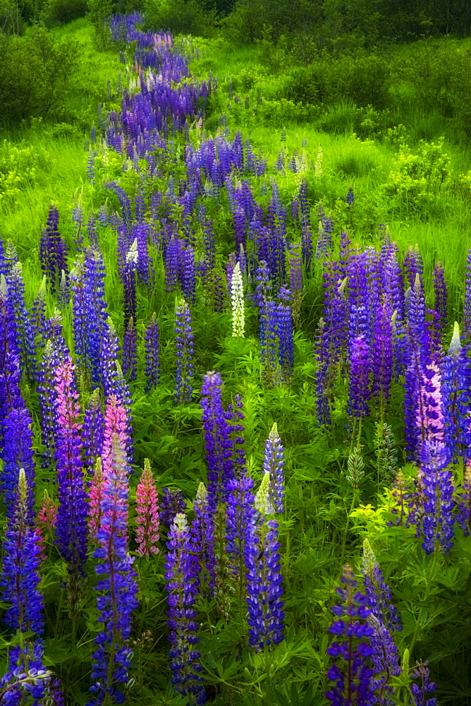 Garden-lupines, Stillwater, Nova Scotia