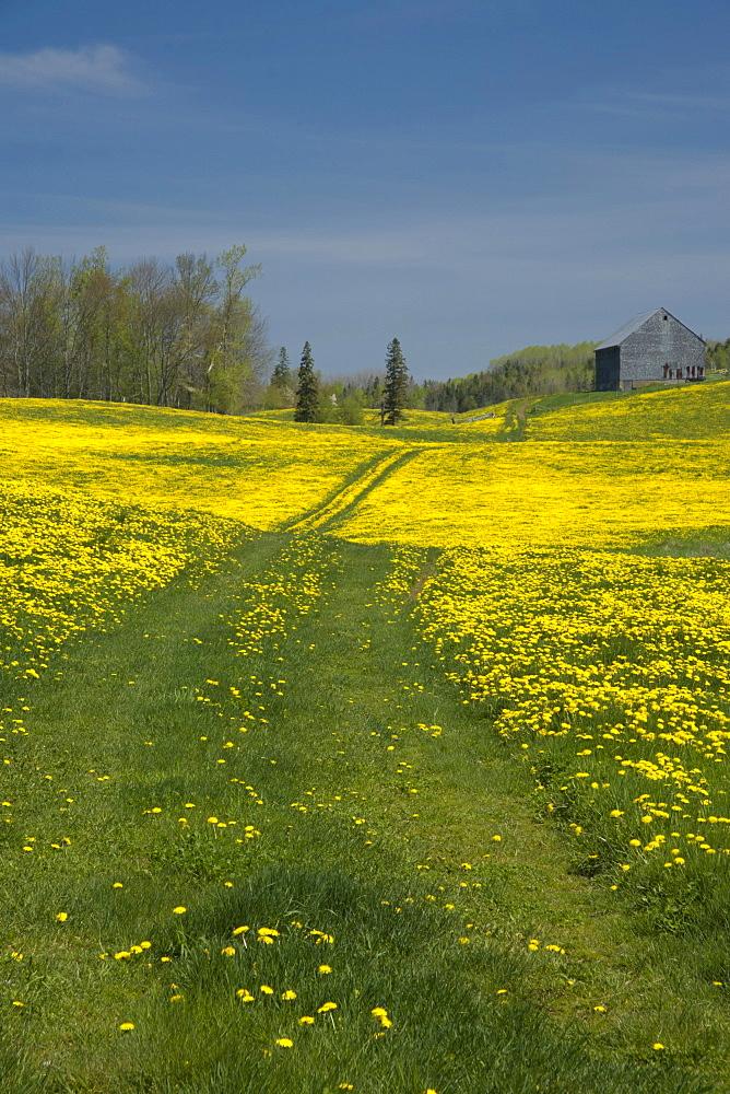 Country lane and dandelions, Poplar Grove, Nova Scotia