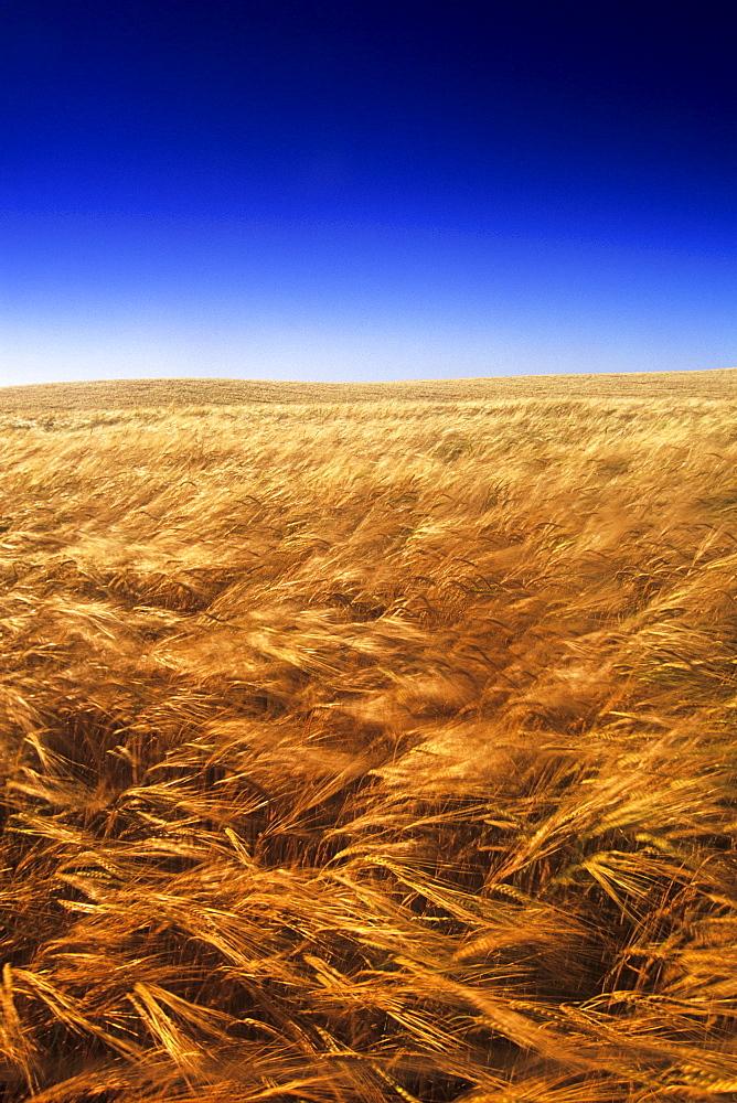 Ripening Wind-Blown Barley, Tiger Hills, Manitoba