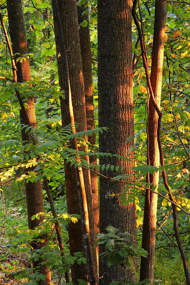 Artist's Choice: Hardwood forest at Roanoke mountain, Blue Ridge Parkway National Park, Virginia