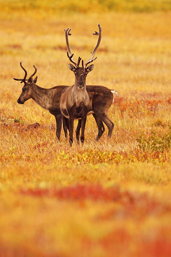 Adult caribou in the fall colours of the Dempster highway, Yukon
