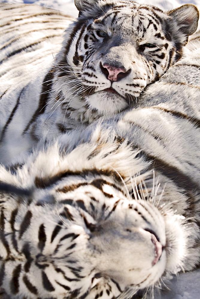 White Bengal Tigers, Forestry Farm, Saskatoon, Saskatchewan