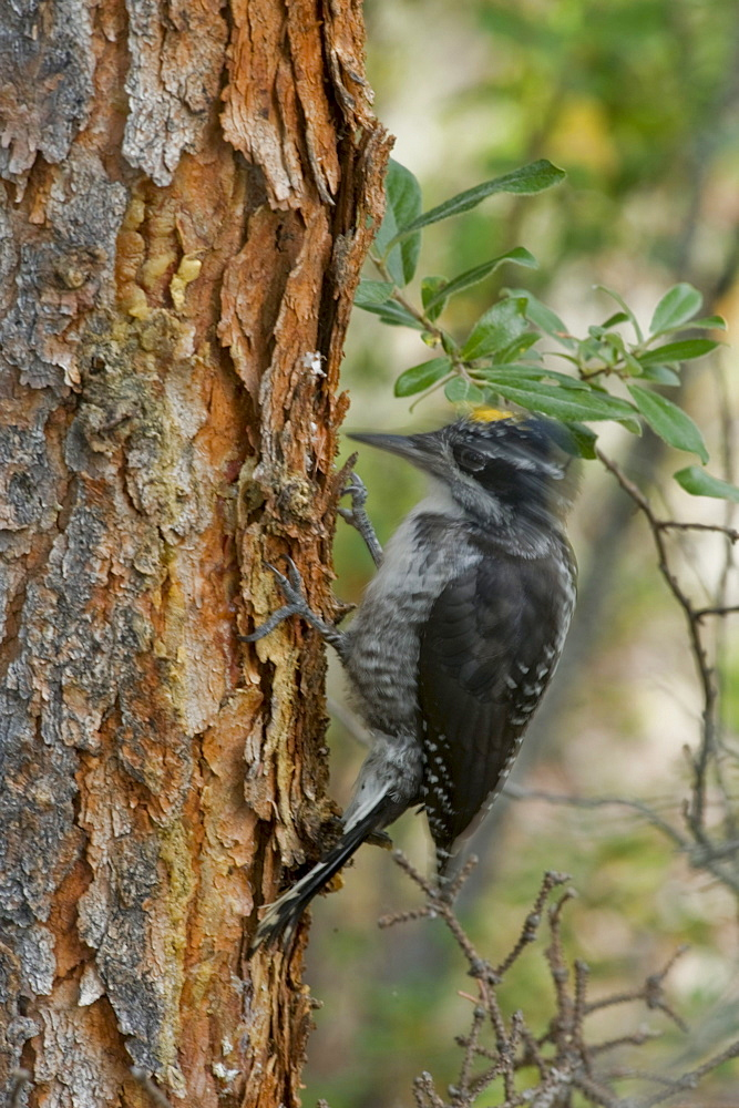 Three Toed Woodpecker on a tree, Nahanni National Park, Northwest Territories