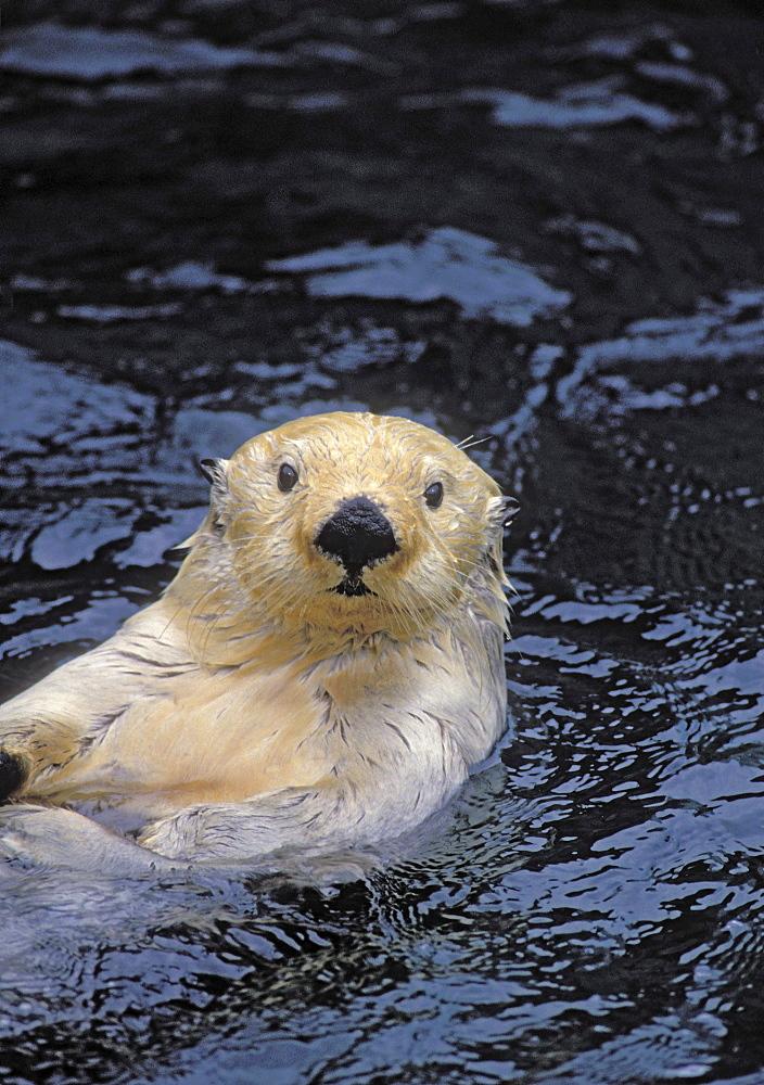 Tk0049, Thomas Kitchin; Sea Otter. Pacific Coast, North America. Enhydra Lutris.