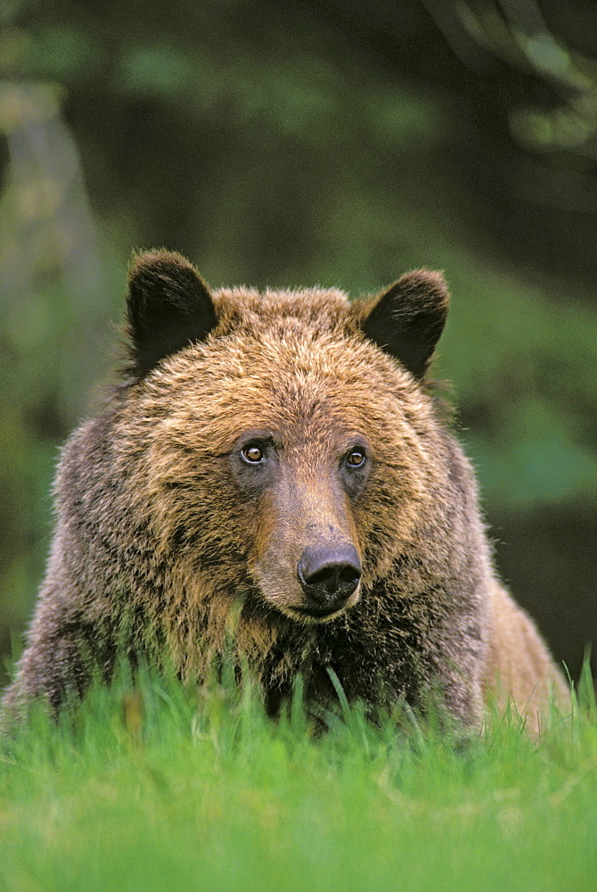 Tk0604, Thomas Kitchin; Grizzly Bear. Five-Year Old Male. Spring. Rocky Mountains. Ursus Arctos.
