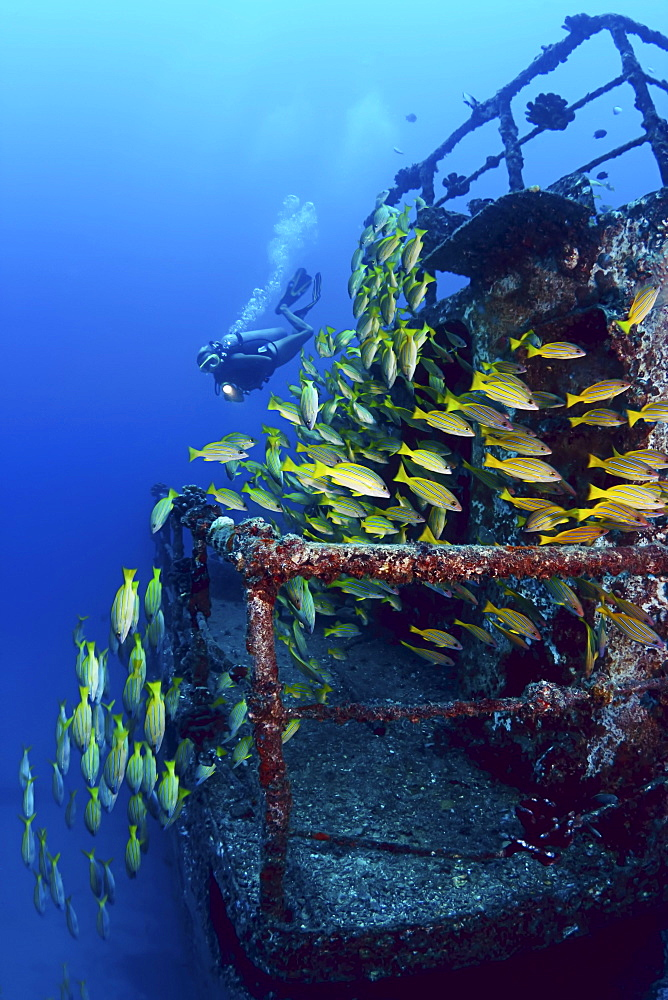 Hawaii, Oahu, Waikiki, Diver and schooling blue striped snapper (Lutjanus kasmira) on the wreck of the Sea Tiger