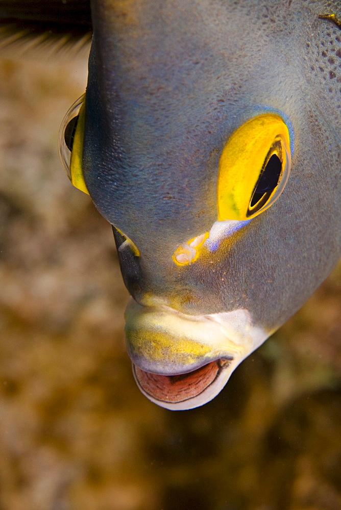 Caribbean, Bonaire, French angelfish (Pomacanthus paru).
