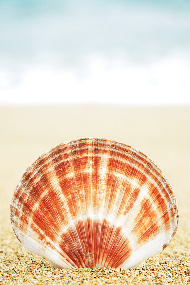 Hawaii, Oahu, Brown and white clam shell on sand. - 1116-29409