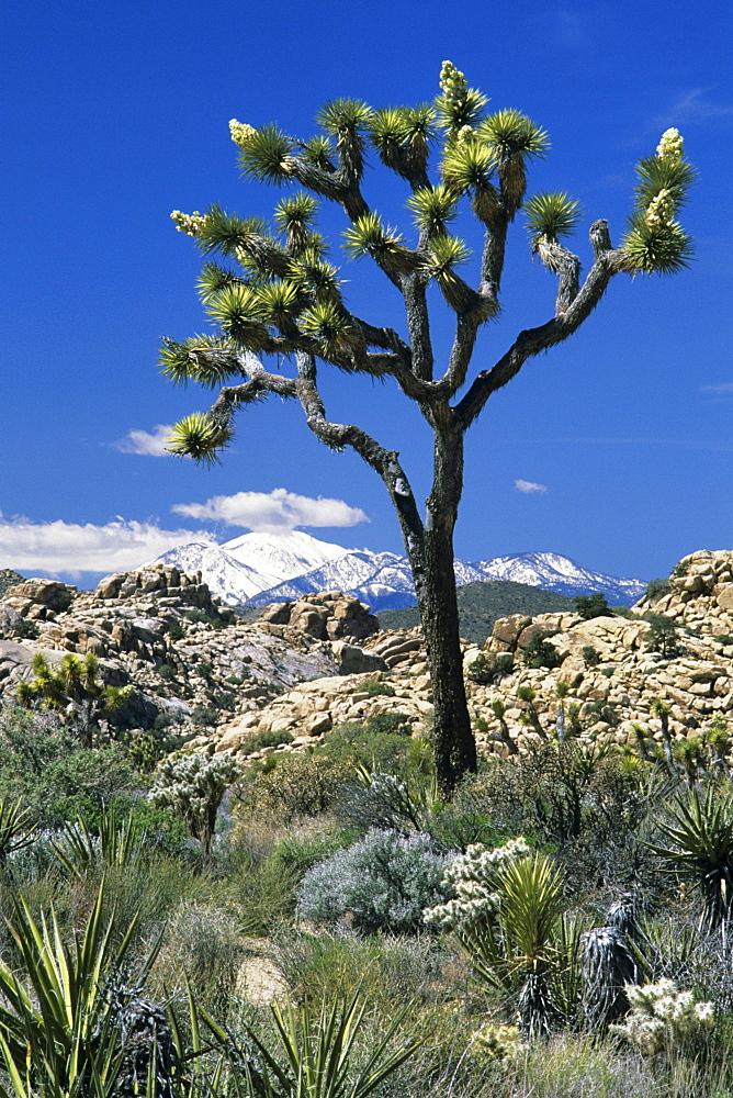 California, Joshua Tree National Park, Joshua tree against blue sky, Snow-capped San Gorgonio Mountains in distance.