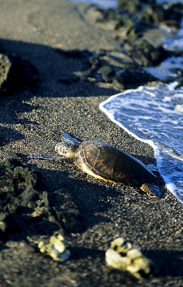 Hawaii, Big Island, Green Sea Turtle (Chelonia mydas) resting on sandy beach near ocean's edge.