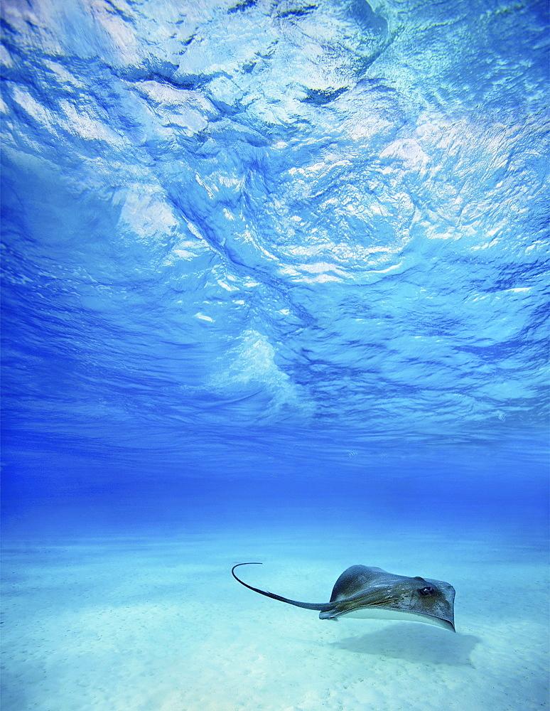 French Polynesia, Tahiti, Bora Bora, Stingray in beautiful turquoise water.