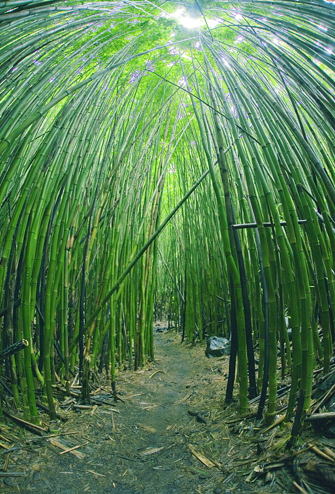 Hawaii, Maui, Bamboo Forest.