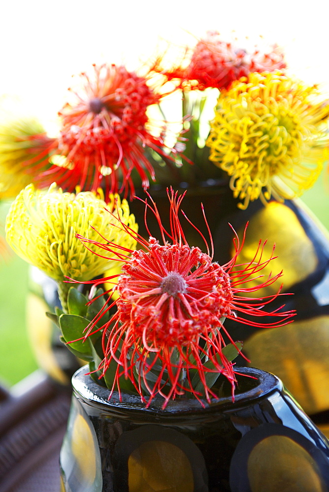 Hawaii, Pincushion protea flower arrangement.
