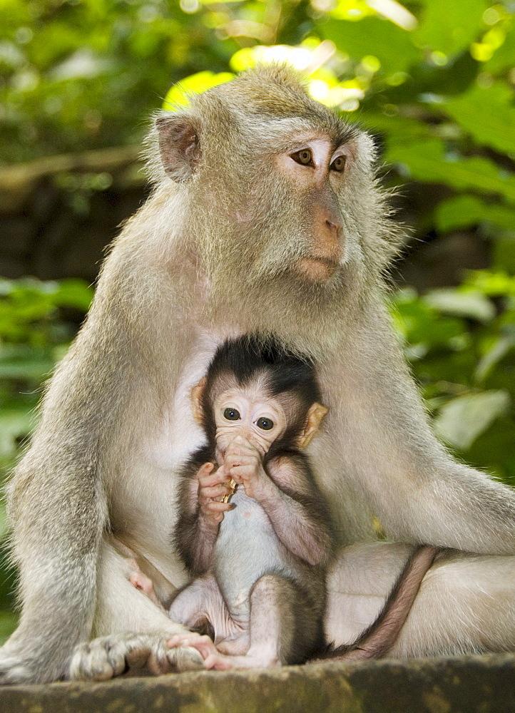 Indonesia, Bali, Ubud, Macaque monkey with baby.