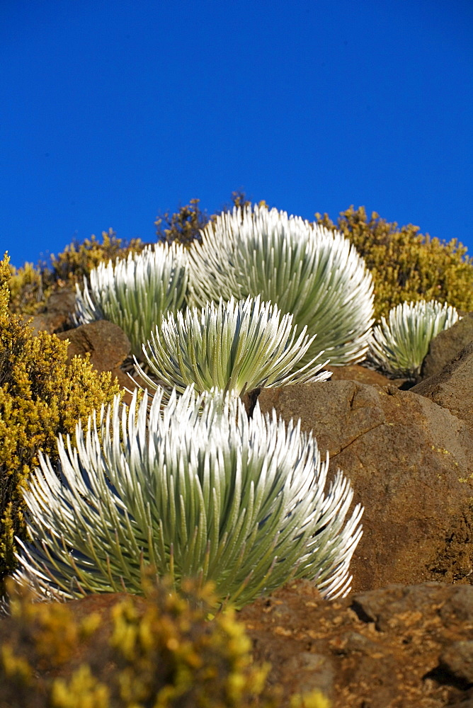 Hawaii, Maui, Haleakala National Park, Young Silversword plants.