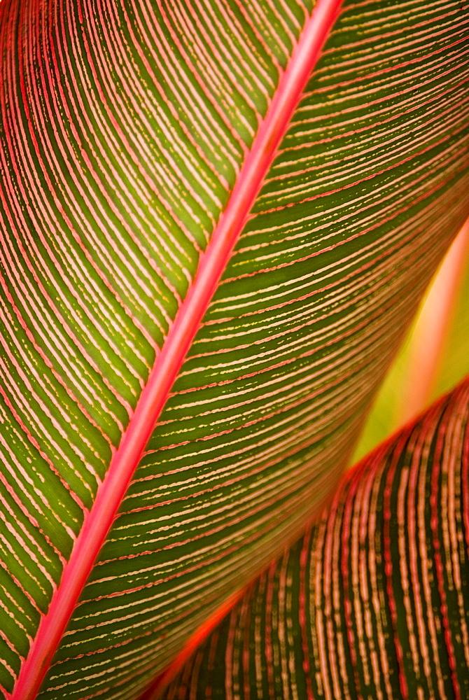 Hawaii, Maui, Variegated Ti-Leaf plant.