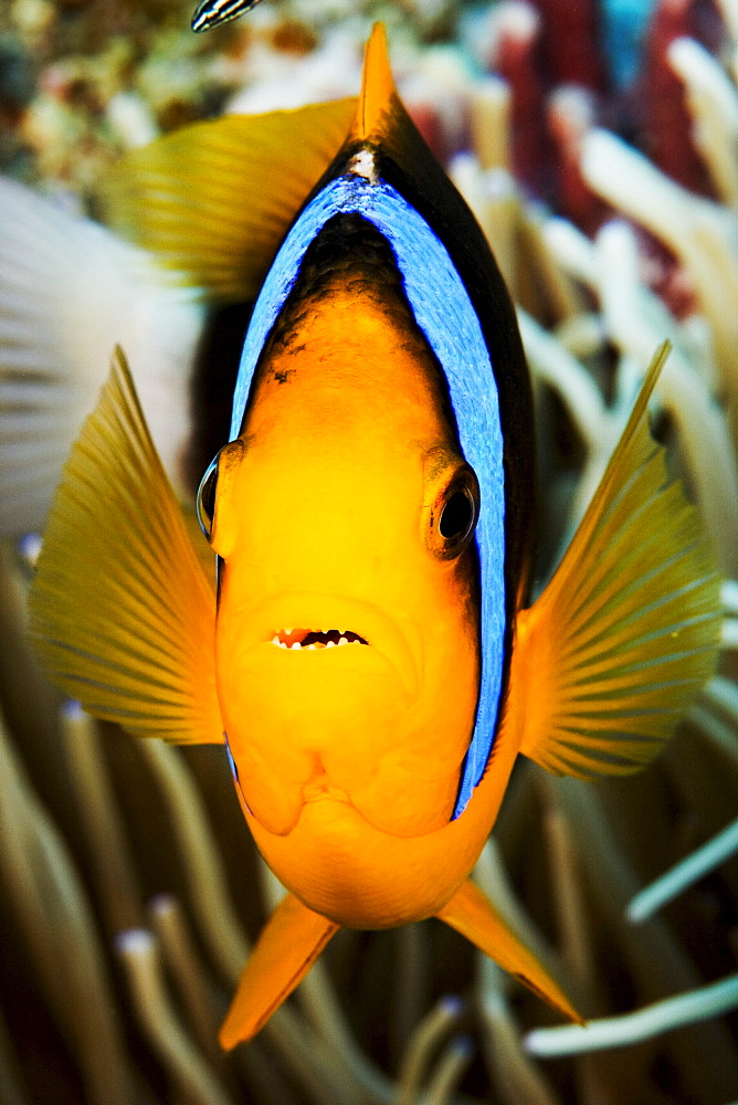 Micronesia, Yap, Clark's anemonefish (Amphiprion clarkii).