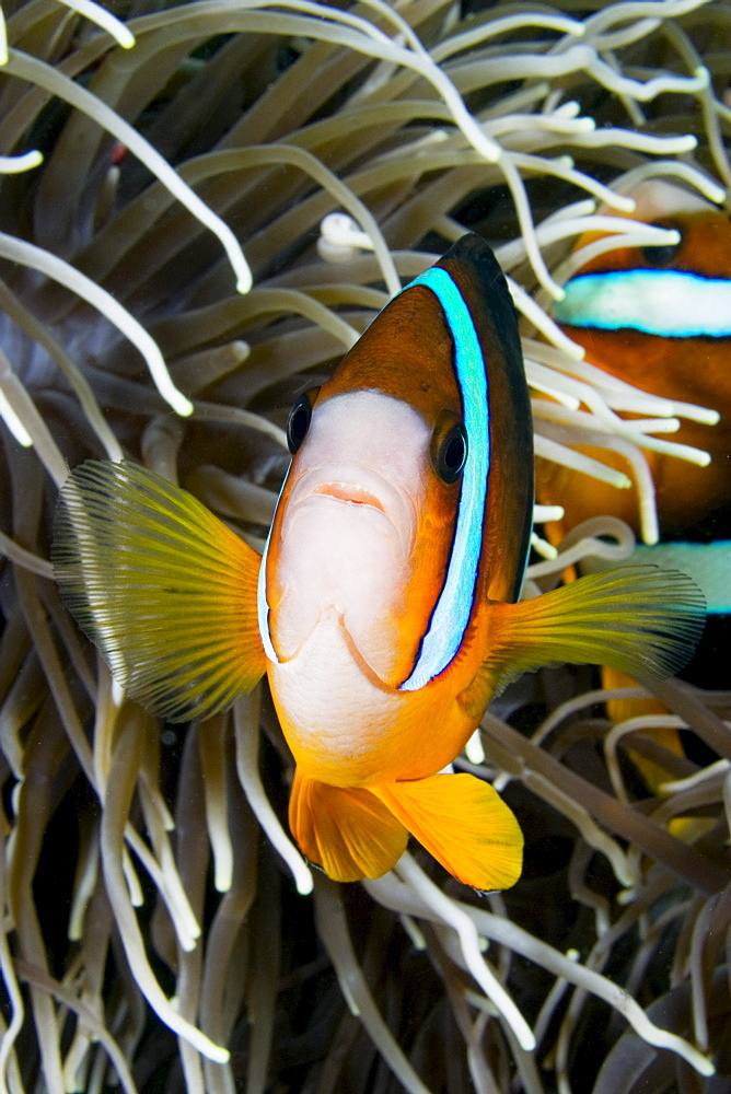 Indonesia, Clark's anemonefish (Amphiprion clarkii) and sea anemone.