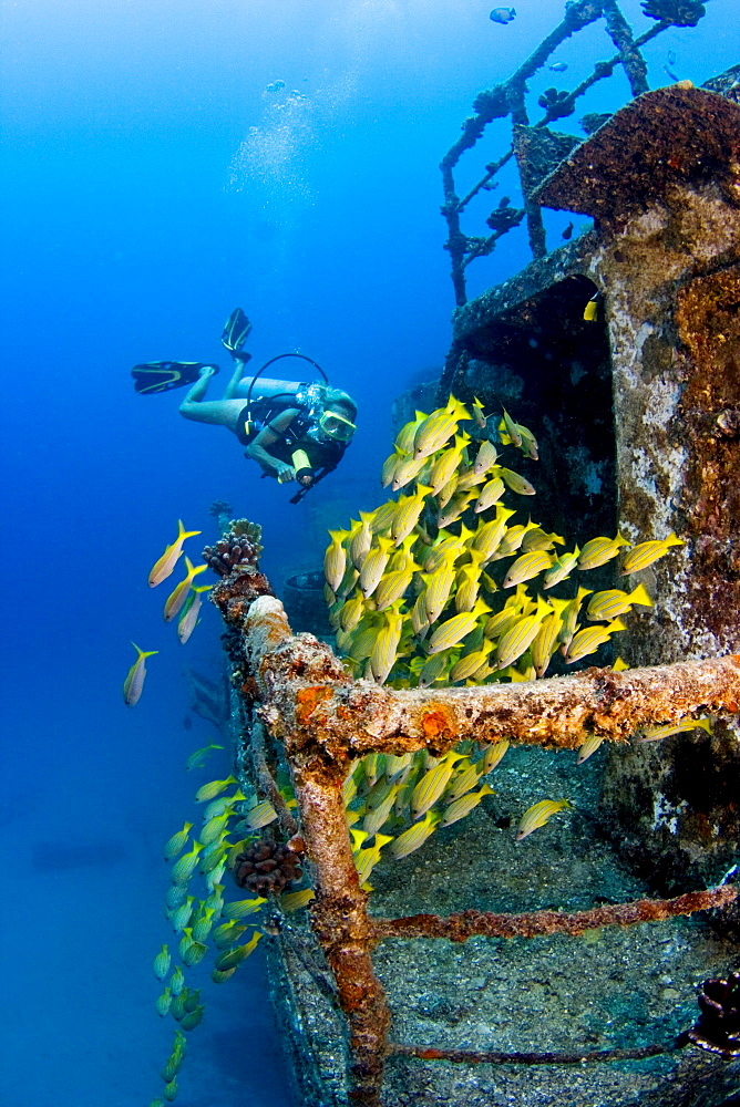 Hawaii, Oahu, Waikiki, Diver exploring Sea Tiger ship wreck, School of Blue Striped Snapper fish.