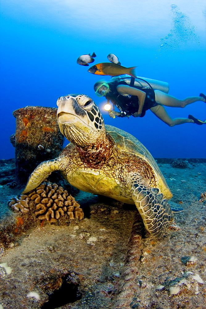 Hawaii, Oahu, Green sea turtle (Chelonia mydas) over reef, Scuba diver nearby.