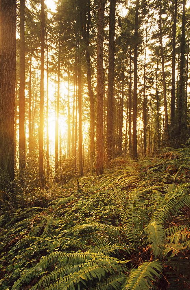 Oregon, Portland, Wildwood Trail, Warm sunlight shining through fir trees, ferns and ivy.