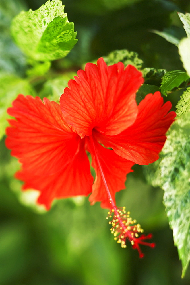 French Polynesia, Tahiti, Maupiti, red Hibiscus Flower.