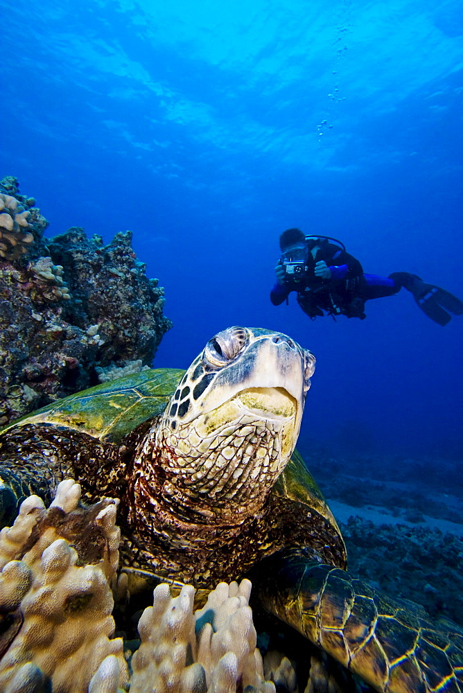 Hawaii, An endangered species, green sea turtles (Chelonia mydas) are a common sight in these waters.