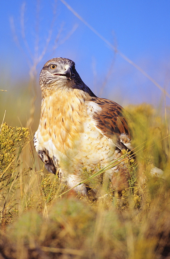 Colorado, closeup of a feruginous hawk (Buteo regalis) in field of dry grass.