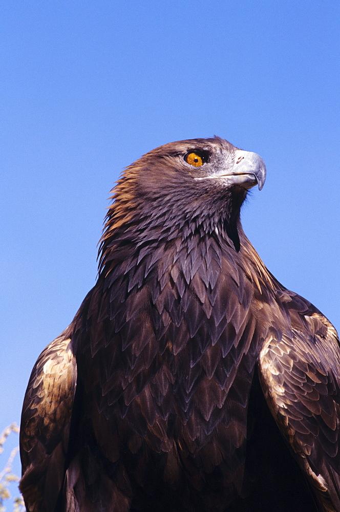 Golden eagle (Aquila chrysaetos) against blue sky.