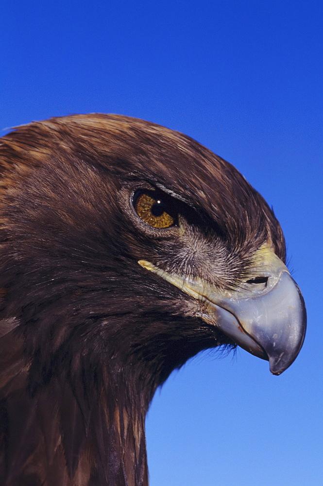 Portrait of a golden eagle (Aquila chrysaetos)