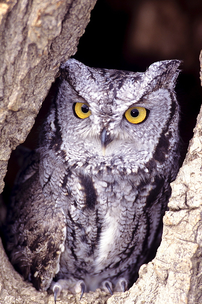 Western Screech Owl (Otus kennicottii) in hollow cottonwood.
