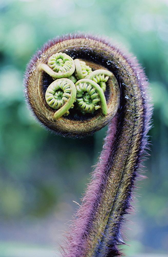 Hawaii, Big Island, Ama'u Fern (Sadleria Cyatheoides). - 1116-31751