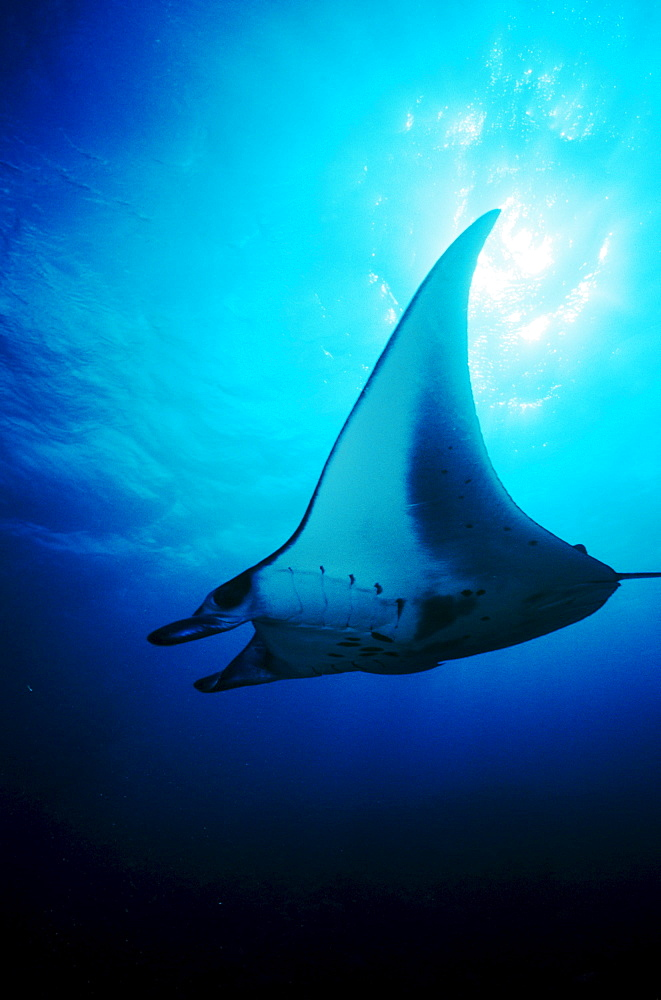 Micronesia, Yap, Manta Ray  gliding through clear ocean water near surface, View from below.