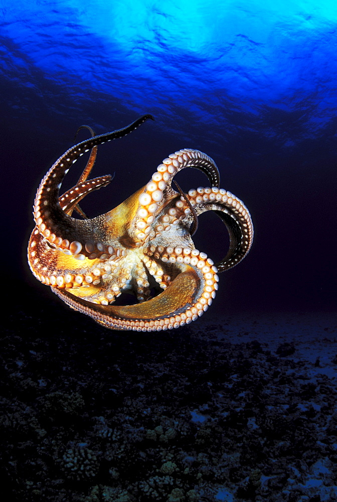 Hawaii, Day Octopus (Octopus cyanea), View of curling legs from underside, clear blue ocean water.