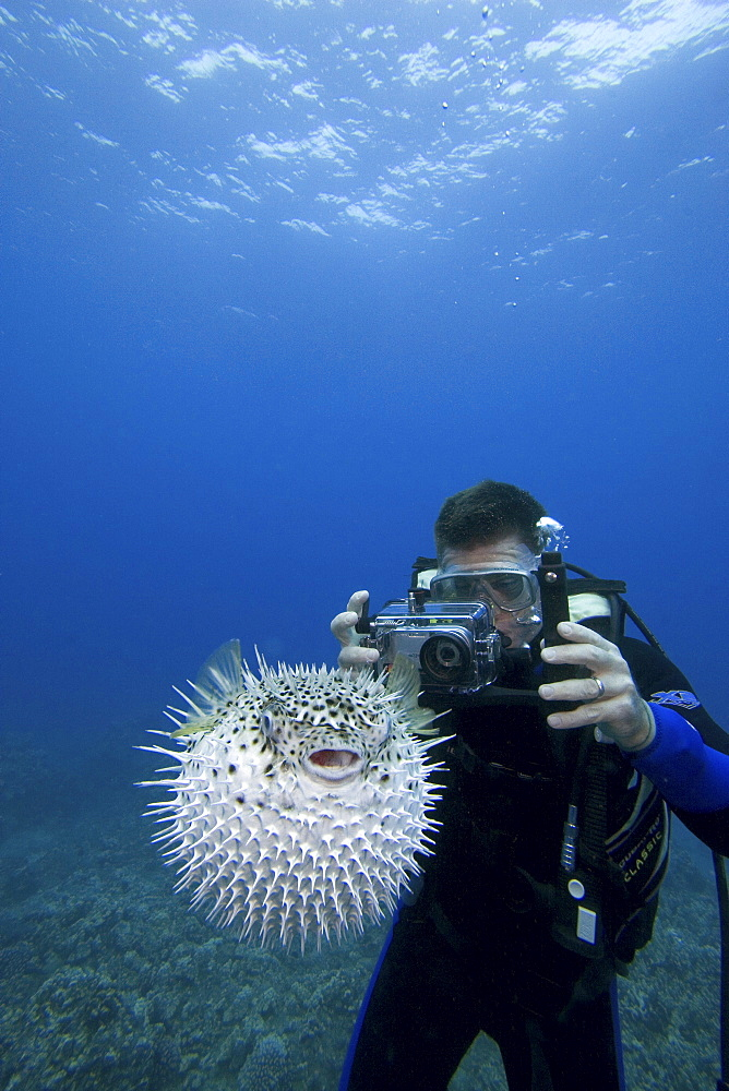 Hawaii, Diver photographing a spotted porcupinefish (diodon hystrix), puffed up with spines sticking out.