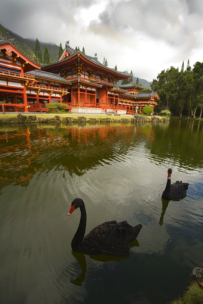 Hawaii, Oahu, Ahuimanu Valley, Valley of the Temples, Two Black Swans in pond at Byodo-In Temple.