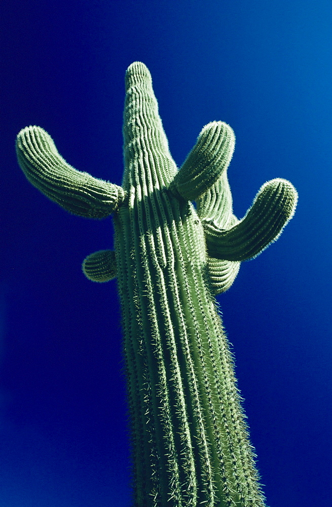California, Saguaro cactus (carnegiea gigantea) plant against blue sky, View from below.